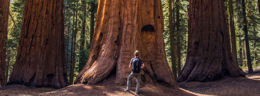 A member of our Vancouver Island adventure tour gazes at the massive old growth trees the BC coast is famous for.  Fresh Adventures offers adventures and tours in all of Western Canada, visiting BC and Alberta.  Our guided safari style adventure tours are among the best Canada tours.