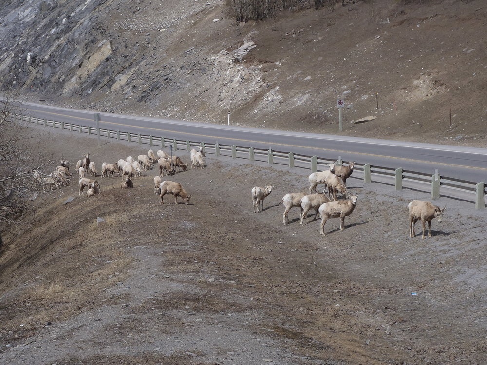 Sheep during a Banff adventure tour