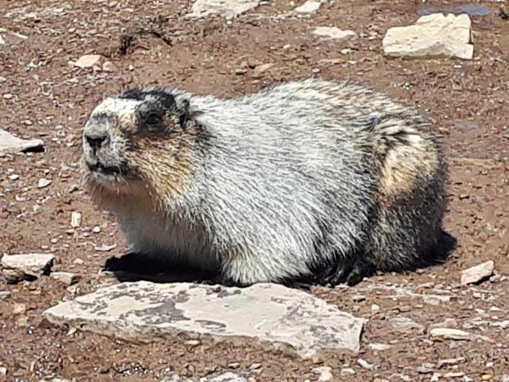 marmot-1-opti.jpg