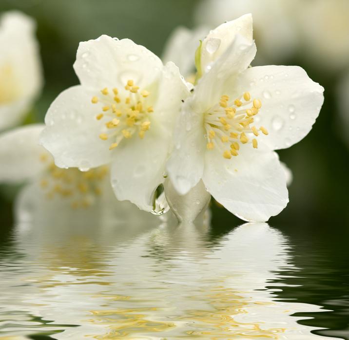 honeysuckle jasmine.jpg