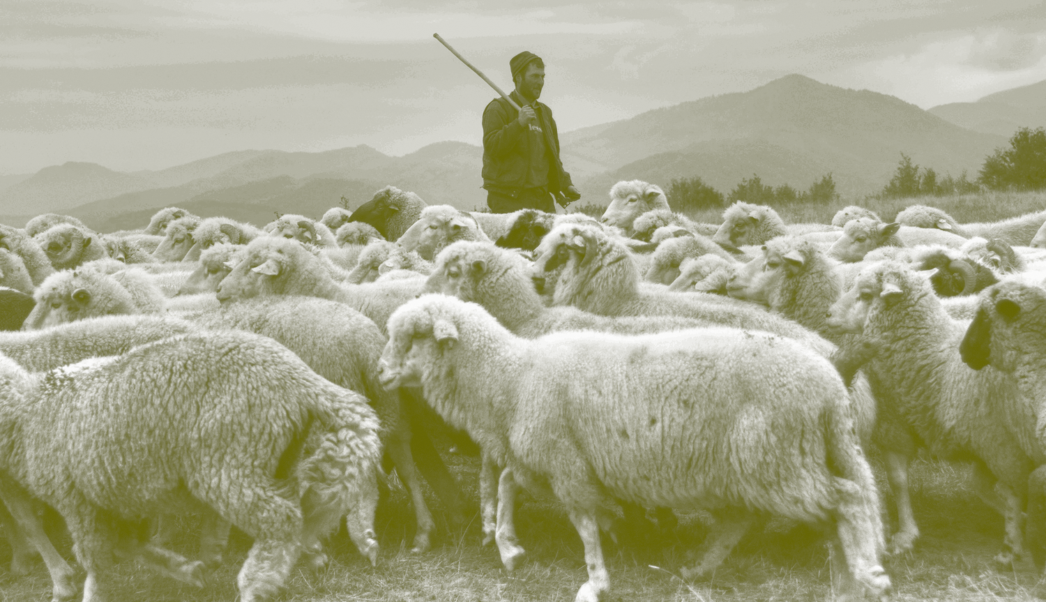 Are You A Sheep Or Shepherd