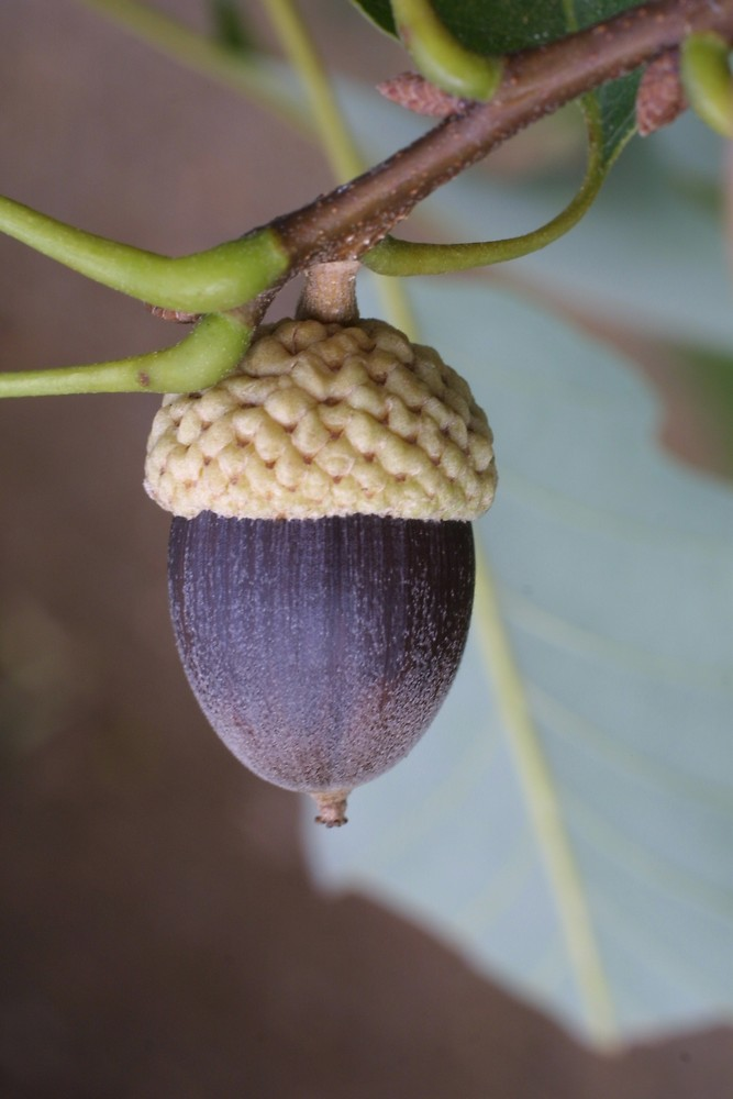 Chinkapin Oak Seed.jpg