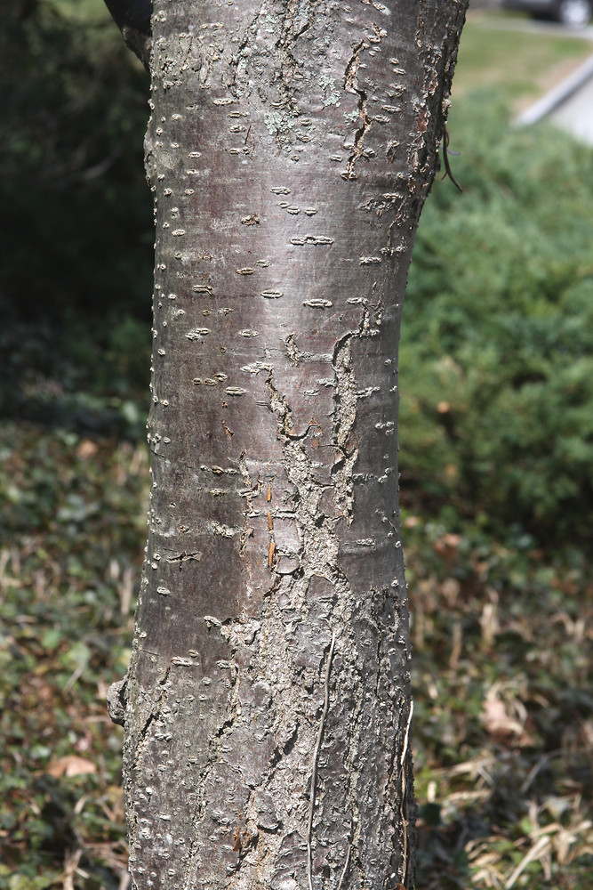 Bark of the Japanese Lilac