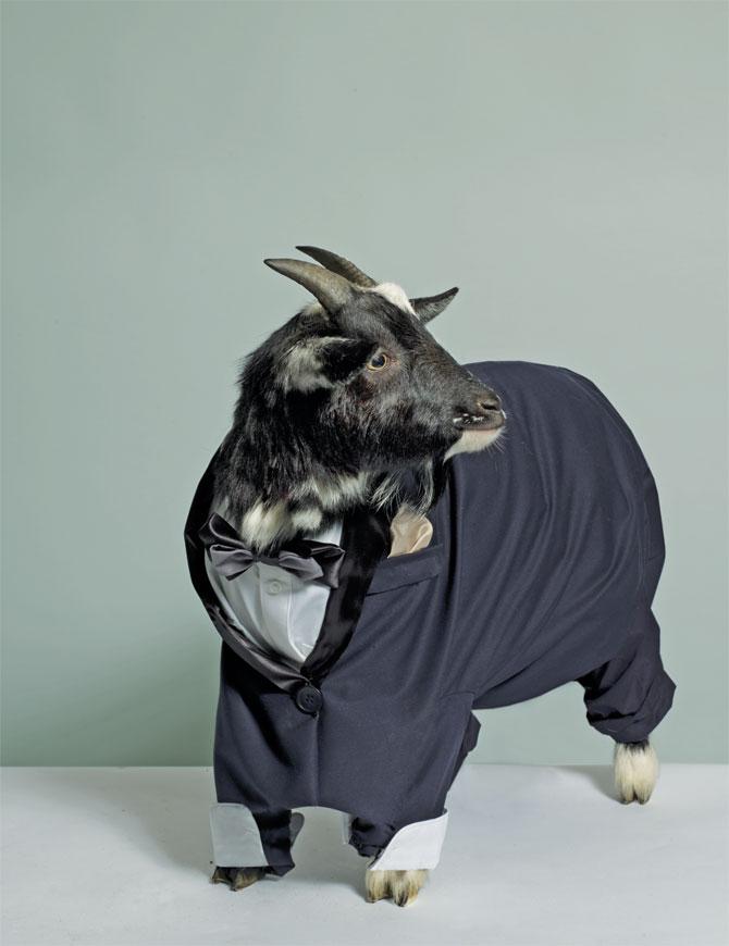 goat-in-blue-suit[1].jpg