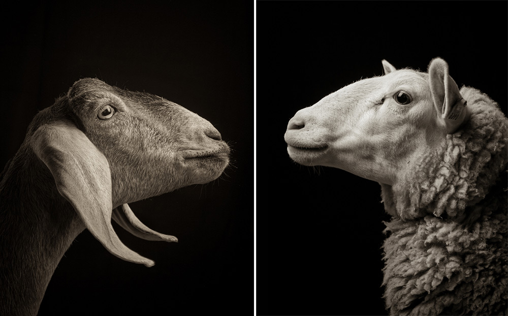 http://www.thisiscolossal.com/2014/11/majestic-black-and-white-studio-portraits-of-goats-and-sheep-by-kevin-horan/?src=footer