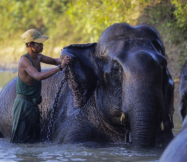 Mahouts, employed by the MTE (Myanmar Timber Enterprise), wash their elephants in the river this morning.  Mahouts start working with elephants as kids and grow up with the animals.  As logging with elephants is phased out in Myanmar, questions loom about the fate of the animals.  There are hopes of releasing them back into the wild, but with poaching on the rise it isn't safe for the elephants outside of their camp.