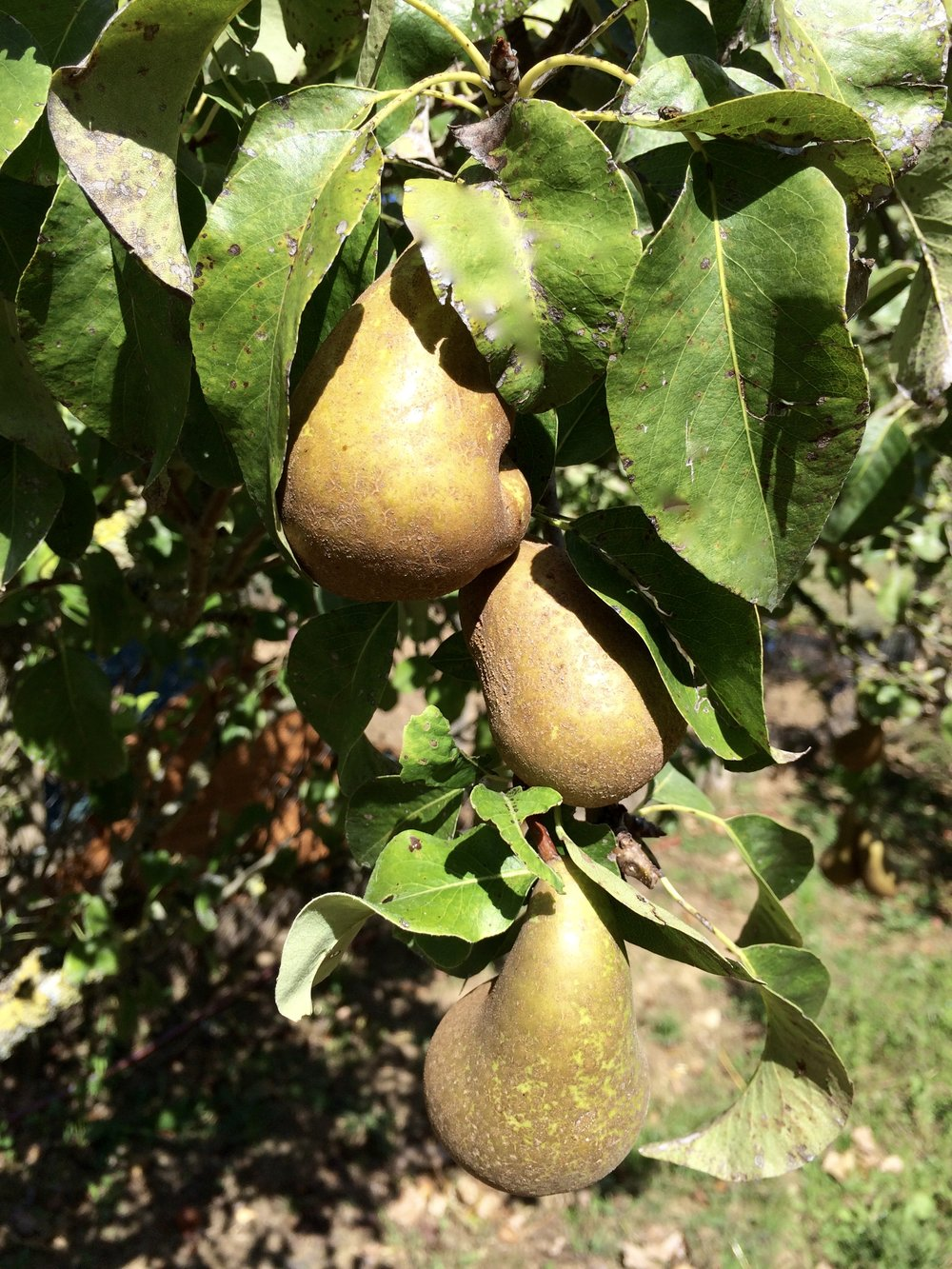 Lovely pears!