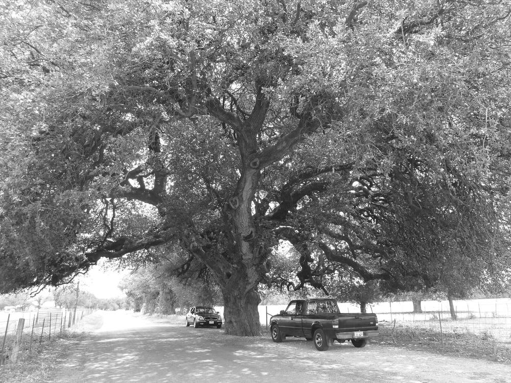 Matrimonial Oak, San Saba, TX