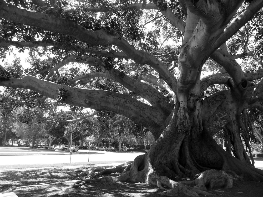 Moreton Bay Fig Tree, Beverly Hills, CA