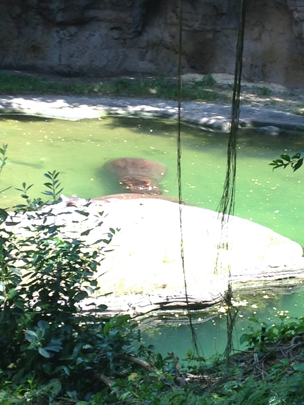 Animal-Kingdom-Hippo-Water.jpg