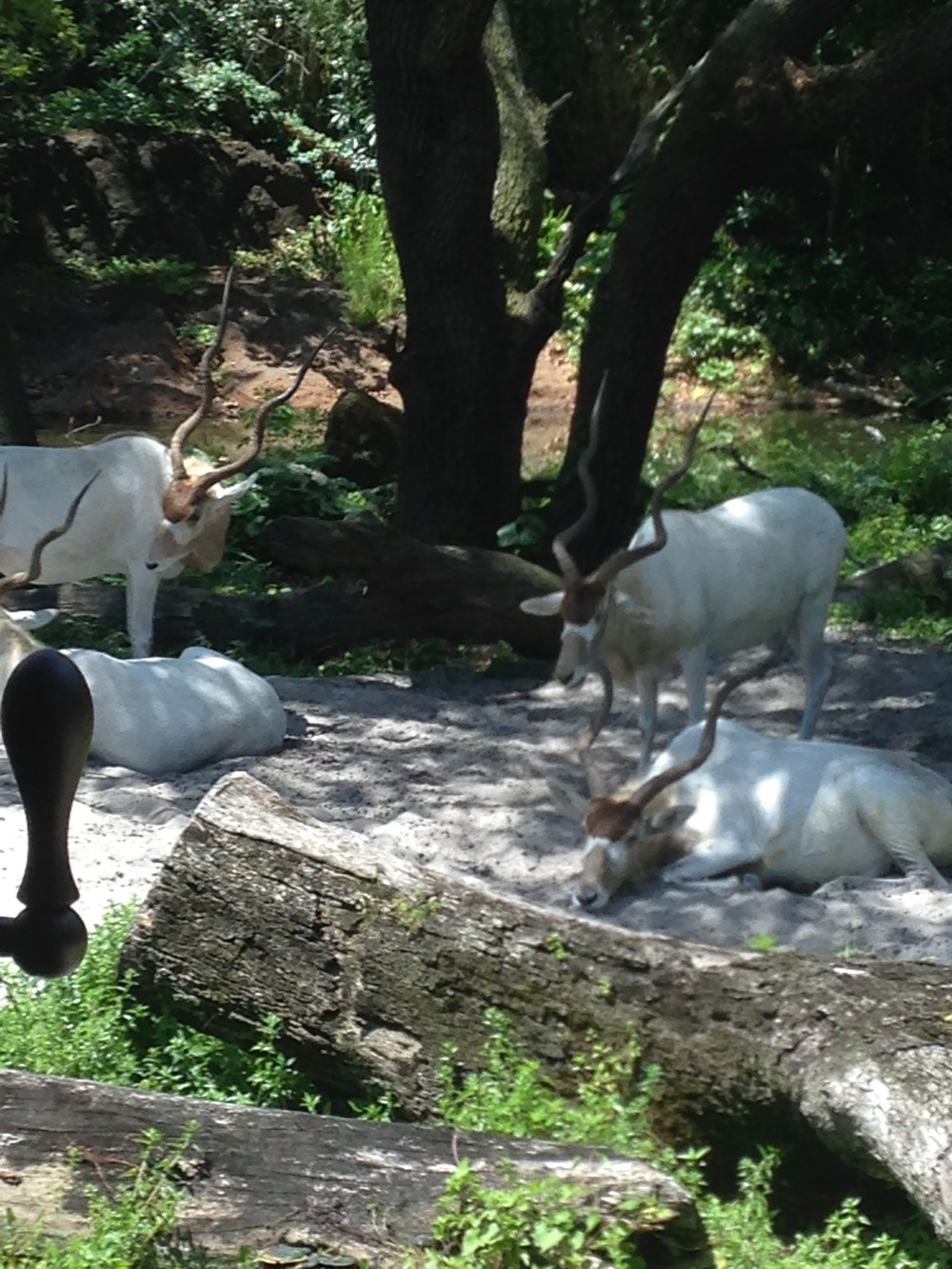Animal-Kingdom-Gazelles.jpg