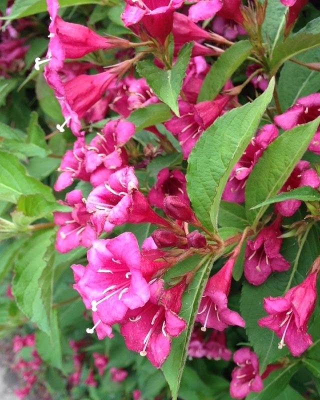 Fuchsia-Flowers.jpg