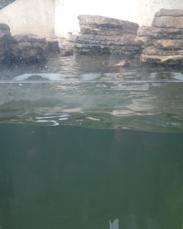 Otters-Swimming.jpg