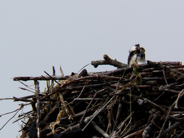 9 - OH...and, we have Ospreys!