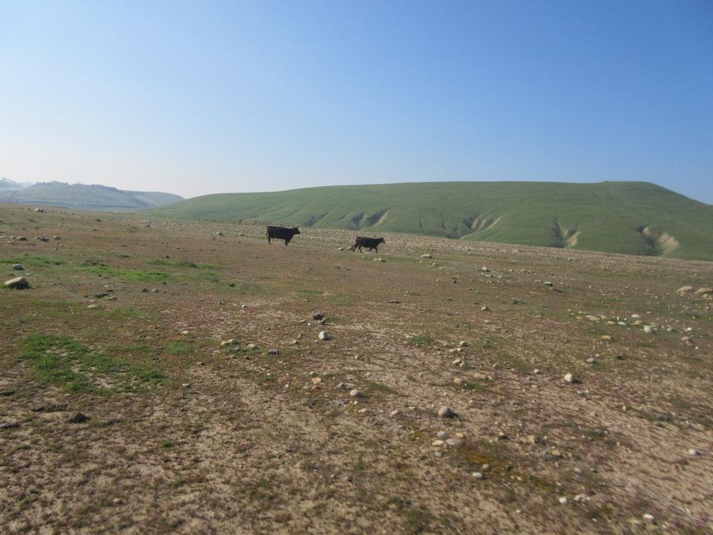 Cobbler Cows.jpg