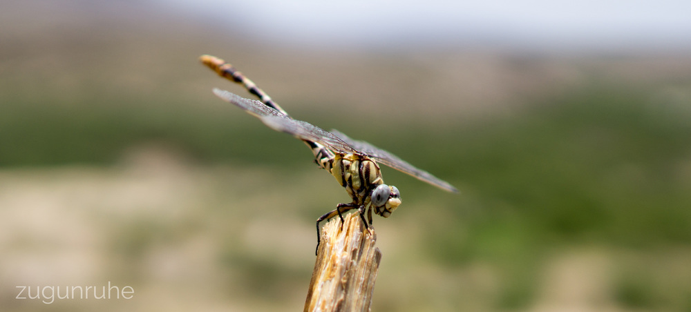 Dragonfly // Big Bend National Park 7/05