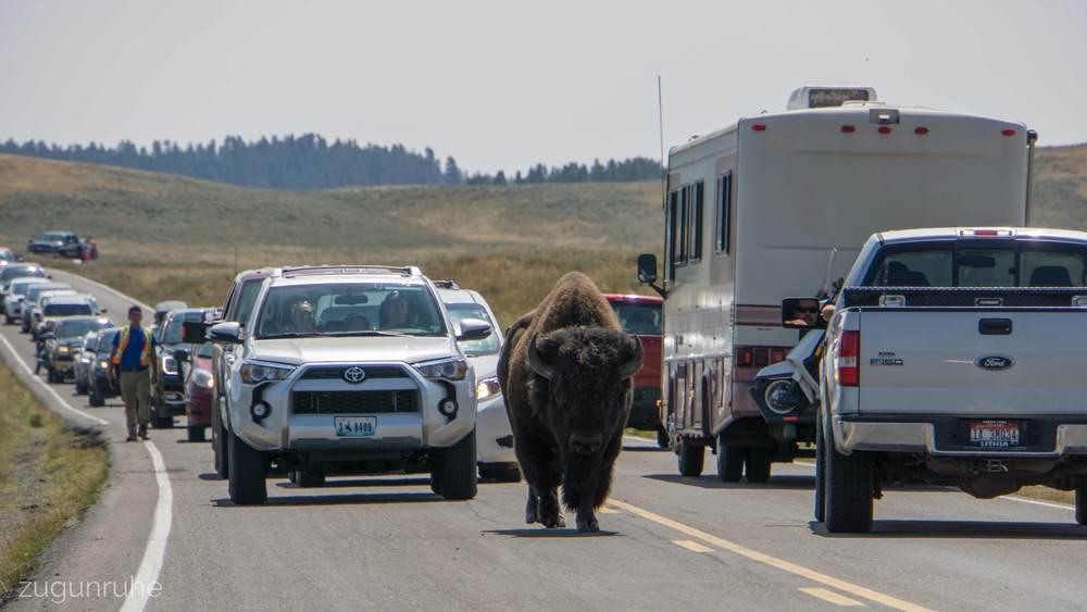Buffalo traffic jam
