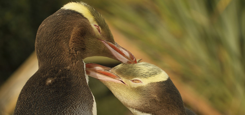 Learn about this shy penguin while viewing at close range.