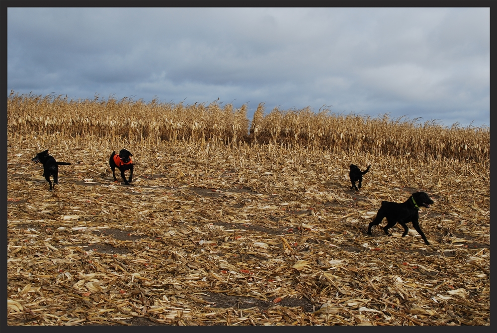 Dogs in Corn