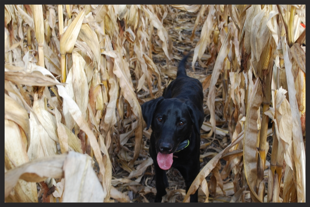 Willson In Corn