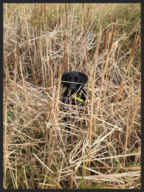 Keo being told to sit in the cattails after a raccoon tried to take him into the water.