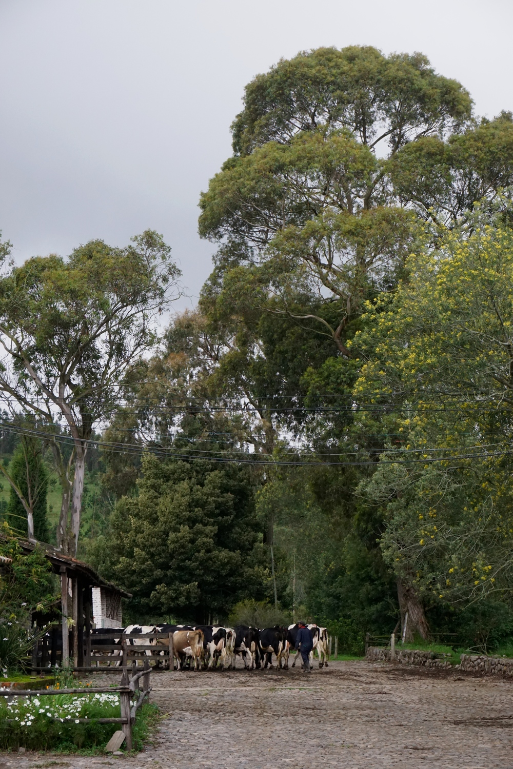 The cows heading to their afternoon milking