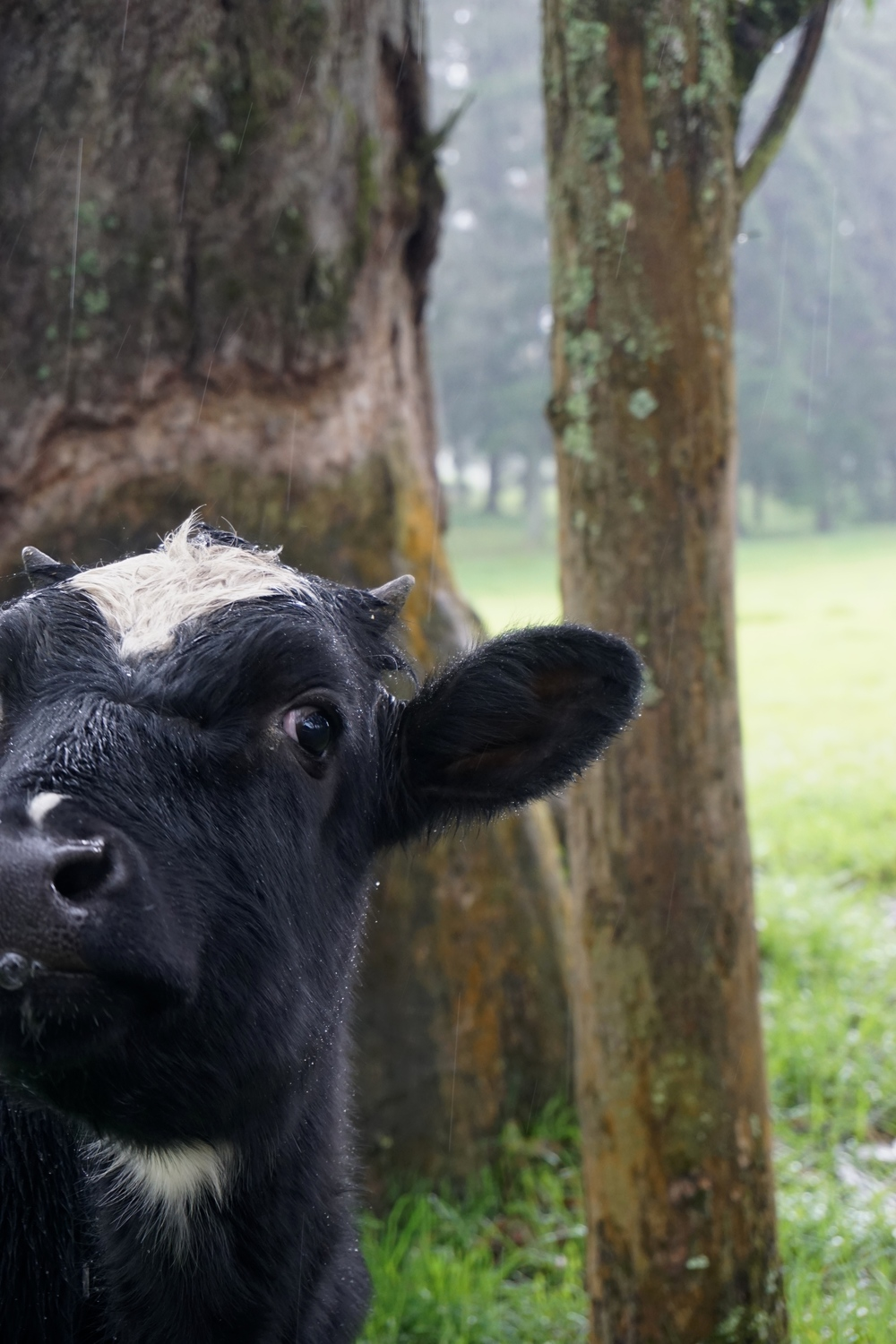This cow has the BEST cow lick