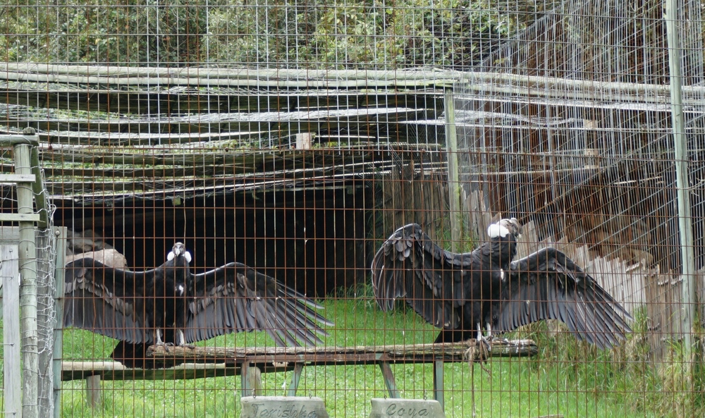 Condors drying their feathers after the morning rainstorm
