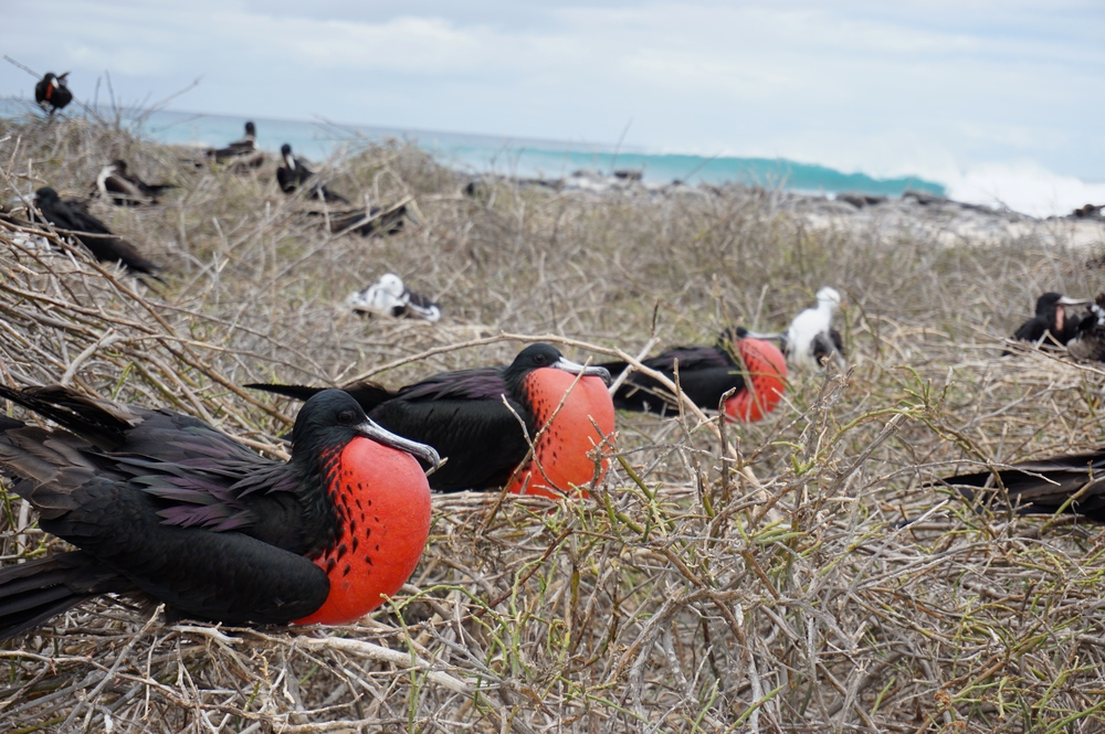 Male Magnificent frigatebirds ( Fregata Magnificens ) courting displays