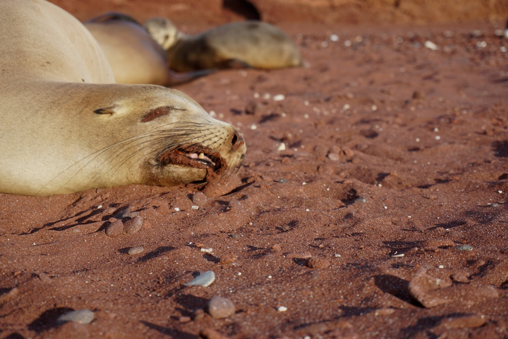 Seems like she's having a pretty intense dream - Galapagos sea lion ( Zalophus wollebaeki)