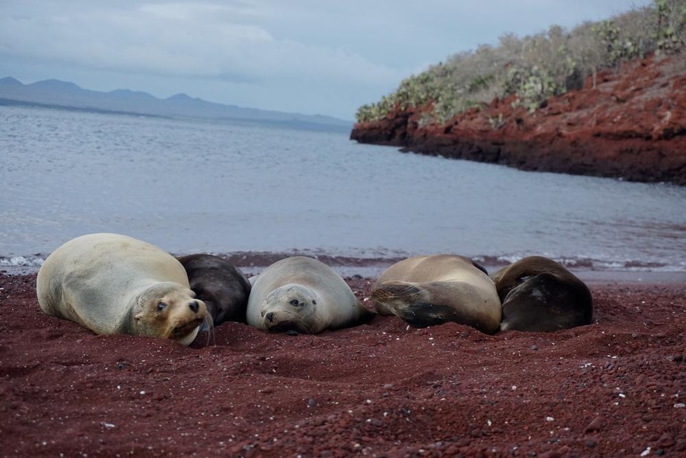 Galapagos sea lions (Zalophus wollebaeki)