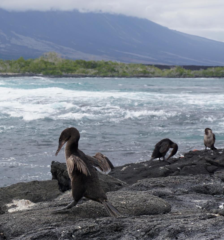 Flightless Cormorant who's in denial about his flight status
