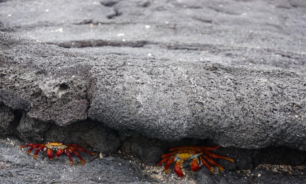 Sally Lightfoot crabs ( Grapsus grapsus )