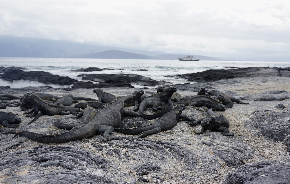 Pile o' marine iguanas ( Amblyrhynchus cristatus )