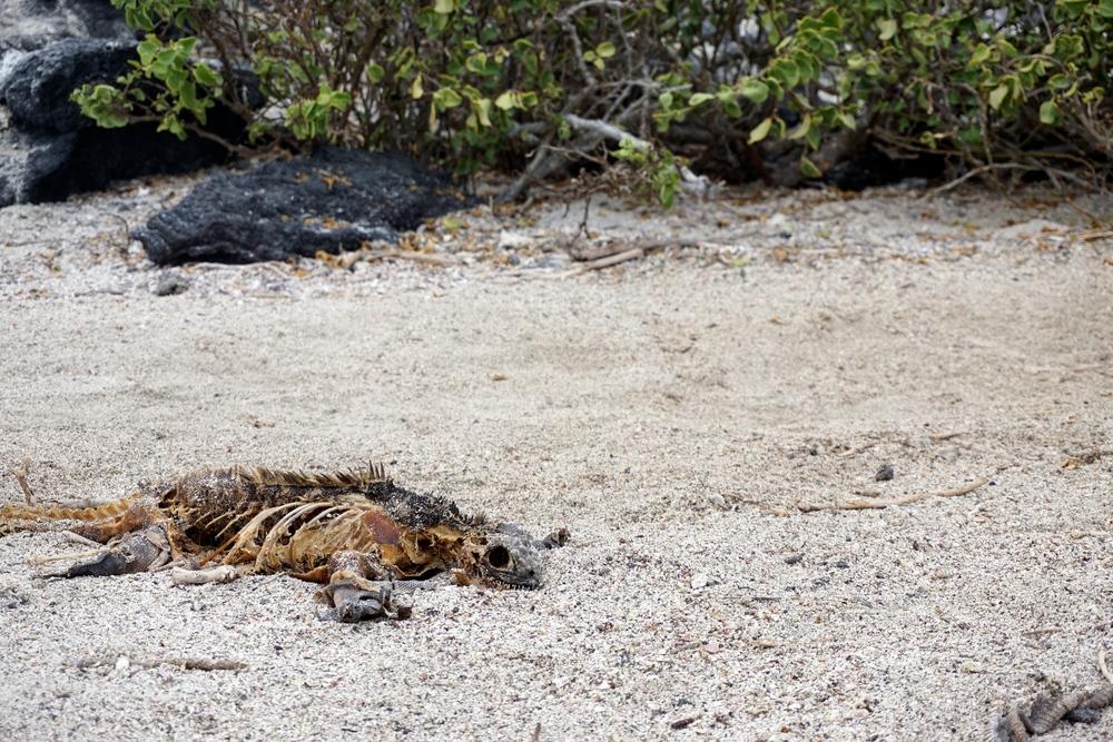 Land iguana carcass