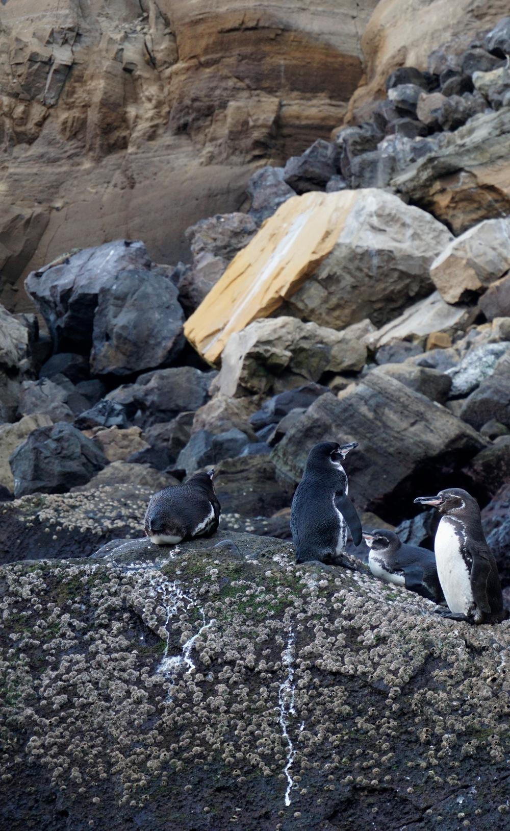 Galapagos penguin ( Spheniscus mendiculus )