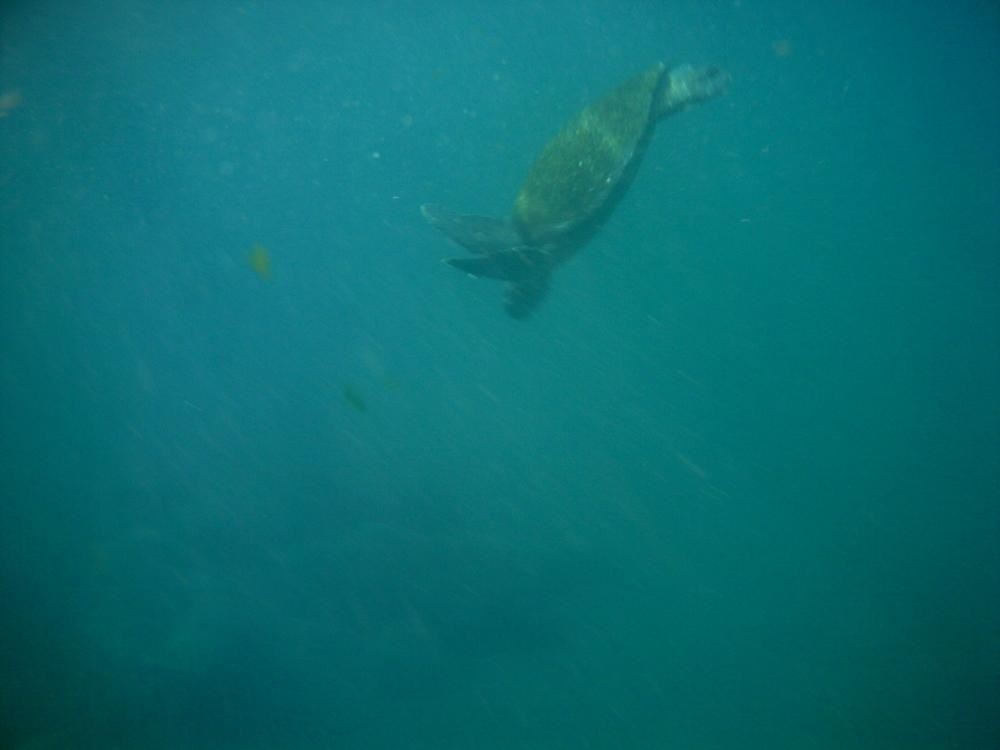 See?!?! Sea turtles! - Green sea turtle ( Chelonia mydas )