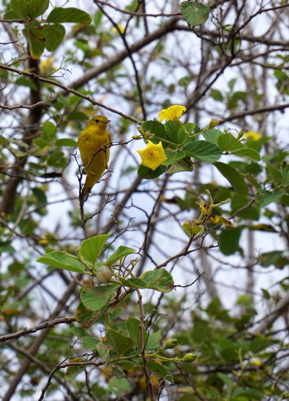 Golden Warbler (Setophaga petechia)