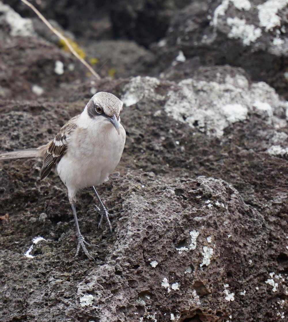 Why are you mocking me?! -Galapagos Mockingbird