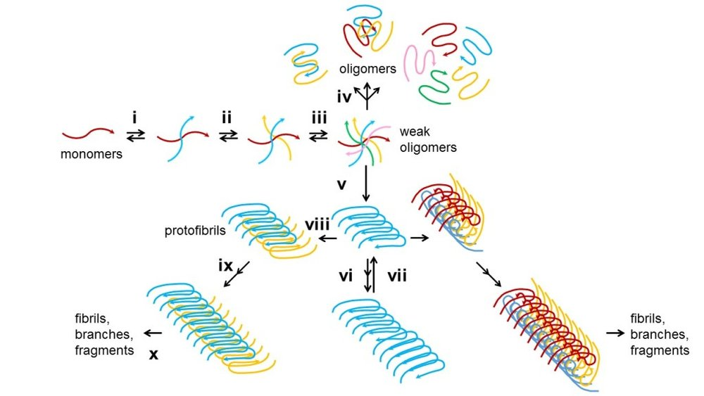 Figure 4. Computational and experimental approaches propose an intergrative model of amyloid aggregation dynamics. The dynamic process of amyloid aggregation is summarized from research utilizing techniques of ssNMR, MD simulation, EM, Fourier transform infrared spectroscopy, kinetic assays, radio-labelling and cell viability experiments. (i-iii) Aβ monomers grow by opportunistic reversible adhesion to each other into different sizes of oligomers. (iv) Weak oligomers might undergo structural rearrangement into more stabilized oligomeric aggregates or (v) commit to extendible fibril nucleation. (vi) Short monolayer protofibrils elongate and (vii) fragment upon instability. (viii) Repeated growth and fragmentation generate short regular fragments which enable fibril thickening into varying layers and morphology, e.g., two-layer striated-ribbons or three-layer twisted morphology as illustrated, depending on physiological conditions. (ix) These structures continue to elongate with minor unit detachment, and branch out by secondary nucleation. (x) Sustained growth gives massive fibril meshes.