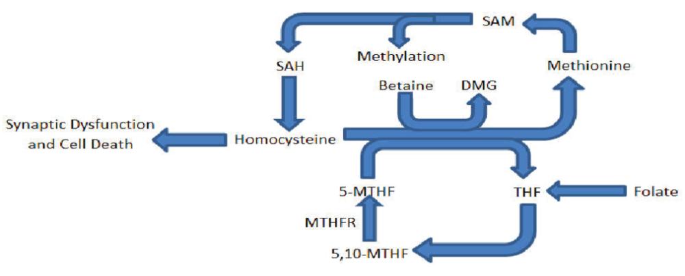 Figure 1. Partial diagram of the methionine/homocysteine and folate cycle outlining key contributing molecules to this research.