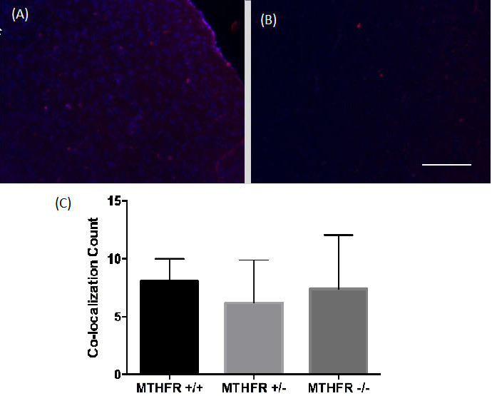 Figure 4. Combined images of the co-localization of PH3 and DAPI immunofluorescence staining in the cortex of (A) a wild-type MTHFR mouse (+/+) and (B) a homozygous knockout MTHFR mouse (-/-). 200X magnification. Scale bar 50µm. Mean co-localization count in the cortex of MTHFR knockout mice and controls (C). No statistically significant differences were viewed ( F (2,10) = 0.26, p = .773). Standard deviations are represented in the figure by the standard deviation bars attached to each column.