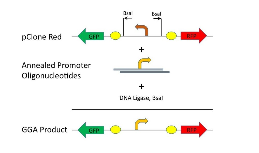 Figure 2. Cloning mutant promoters with pClone Red.  Mutant promoters in the form ofannealed promoter oligonucleotides can be cloned into pClone Red with Golden Gate Assembly (GGA) using BsaI and DNA ligase.In the resulting GGA products, the strength of the mutant promoters canbe measured by RFP production.