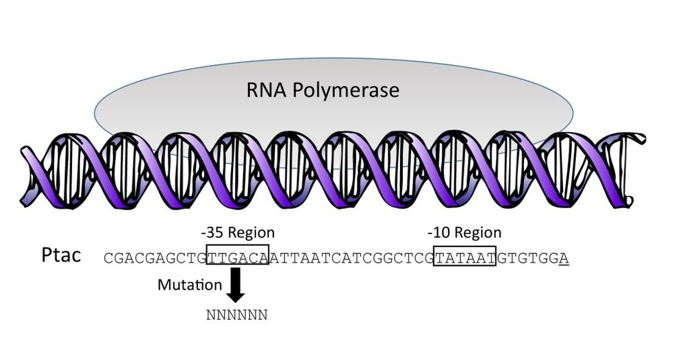 Figure 1. Initiation of bacterial transcription.  The promoter shown is Ptac. The arrow indicates mutation of each of the six bases (shown as Ns) in the Ptac -35 region, producing a library of 4,096 sequence variants.