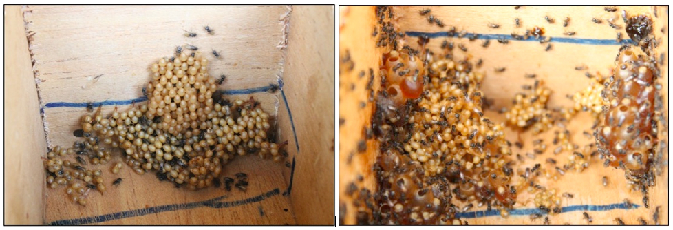 Figure 5. Comparison of new brood cell arrangements in Hives A (left) and B (right).