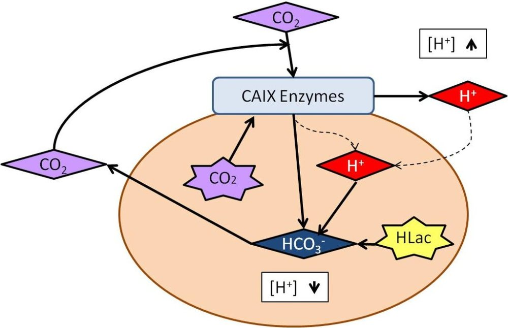 Figure 1. Reaction catalyzed by CAIX.In a tumor cell, CO is generated from aerobic respiration or is present from the general environment. CAIX can turn CO2 and water into HCO3- and H+. When the extracellular pH becomes extremely acidic from the H+, the HCO3- produced by CAIX regulates interior pH. Another source of acidic intracellular pH is Lactic Acid (HLac), which is produced from anaerobic respiration and/ or aerobic glycolysis. It can be removed by intracellular titration with HCO3-, further balancing the pH (Švastová, 2004).