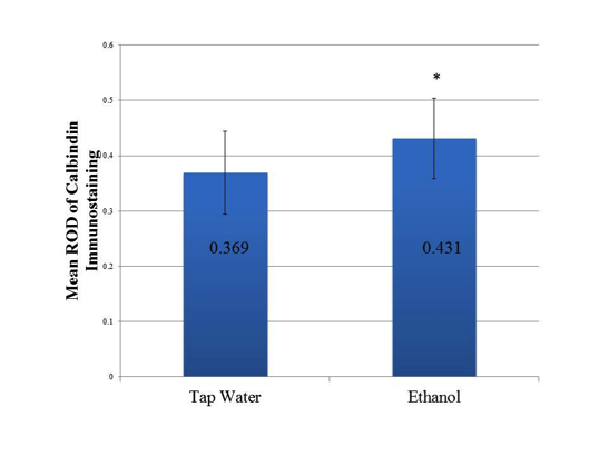 Figure 2: Increased relative optical density (ROD) of calbindin immunostaining in cerebella of P0 mice exposed to ethanol.Graph of mean relative optical density (ROD) of combined calbindin immunostained samples of P0 mouse cerebella prenatally administered tap water and ethanol. The ImageJ software program quantifies the light intensity of pixels along a continuum from 0 to 1. Darker pixels are represented by lower values with 0 representing the darkest intensity. The ROD of each grid square was calculated using the values extracted from ImageJ. The intensity of the calbindin immunostaining was determined based on the assumption that the darker the intensity of the stain, the greater the calbindin protein expression. A non-directional Mann-Whitney U test indicated that ethanol exposed mice had a significantly higher mean ROD of calbindin immunostaining (mean=0.431, sample size (n)=32 grid squares containing calbindin immunostained Purkinje cells) than controls (mean=0.369, (n)=24 grid squares containing calbindin immunostained Purkinje cells; p-value=.0083). Error bars indicate standard deviation. *Indicates statistical significance.