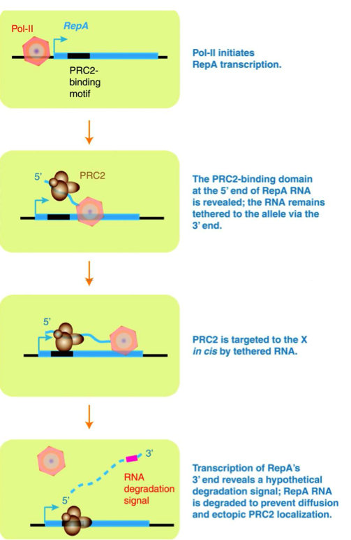 Figure 1:  Mechanism of Xist RNA X chromosome inactivation by recruitment of PRC2. RepA RNA stays bound, allowing PRC2 recruitment to the X-chromosome. (Lee, 2010)