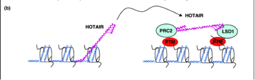 Figure 3:  Mechanism of breast cancer metastasis by HOTAIR. The PRC2 complex contains the subunits EZH2, SUZ12, EED associate with lincRNA HOTAIR and form a bridge with LSD1, CoREST, and REST inducing methylation and heterochromatin formation. This inhibits the transcription of the metastasis suppressor genes, PCDH10, PCDHB5, and JAM2, allowing metastasis to ensue. (Croce, 2010)