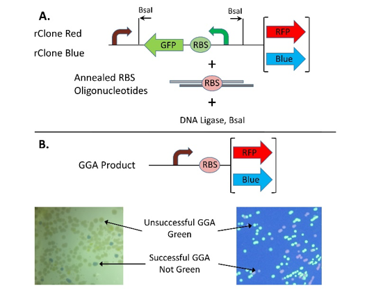 Figure 2. rClone Red and rClone Blue allow RBSs to be cloned into a reporter gene expression cassette.  A. BsaI and DNA ligase enable cloning of RBSs via GGA. B. Photographs show typical colony colors after GGA with rClone Red (right) or rClone Blue (left). RBS = ribosome binding site; GGA = Golden Gate assembly.